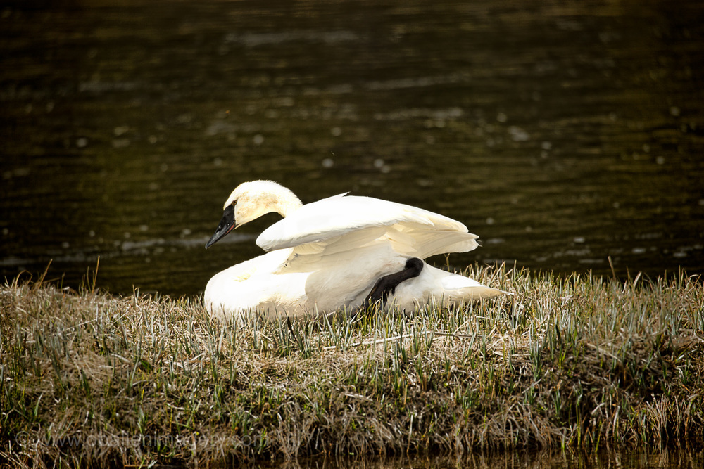 The swan was resting on the banks of the Gibbon River. It was a beautiful sight.
