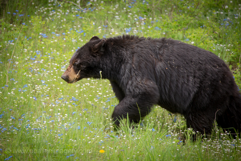 This beautiful bear was photographed near Calcite Springs. This bear raised three cubs the last two years. She has now kicked them away and they are own. It is reasoned that she is one of the original Rosie cubs because she has assumed the territory of the original.