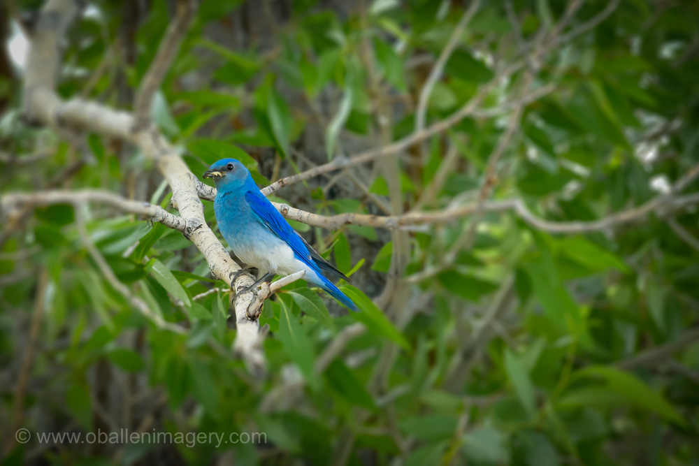 Finally a bluebird. After all these years of trying I finally was able to photograph a bluebird.