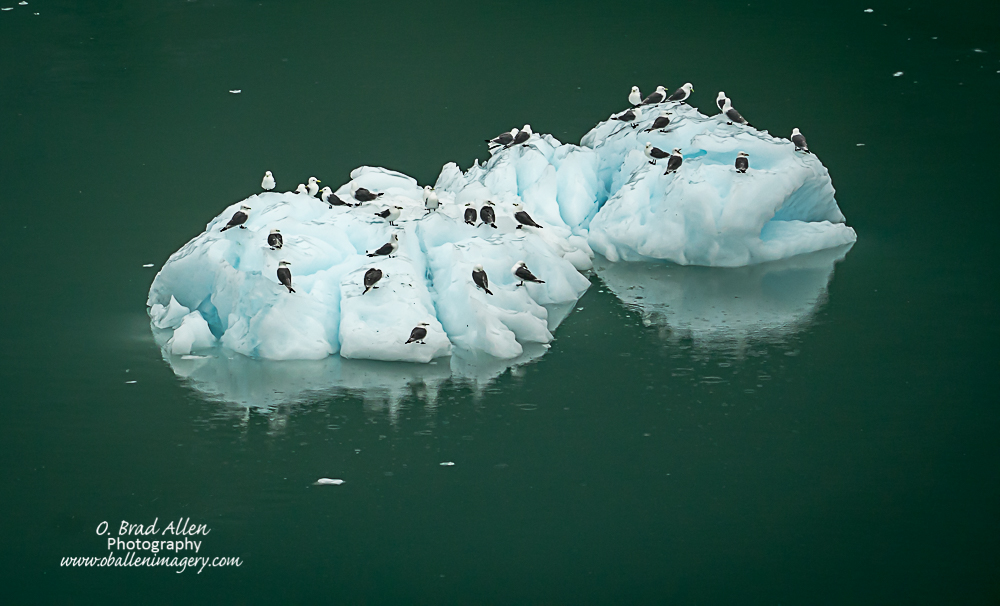 """There were 1000""""s of these birds on the cliffs surrounding the glaciers."""