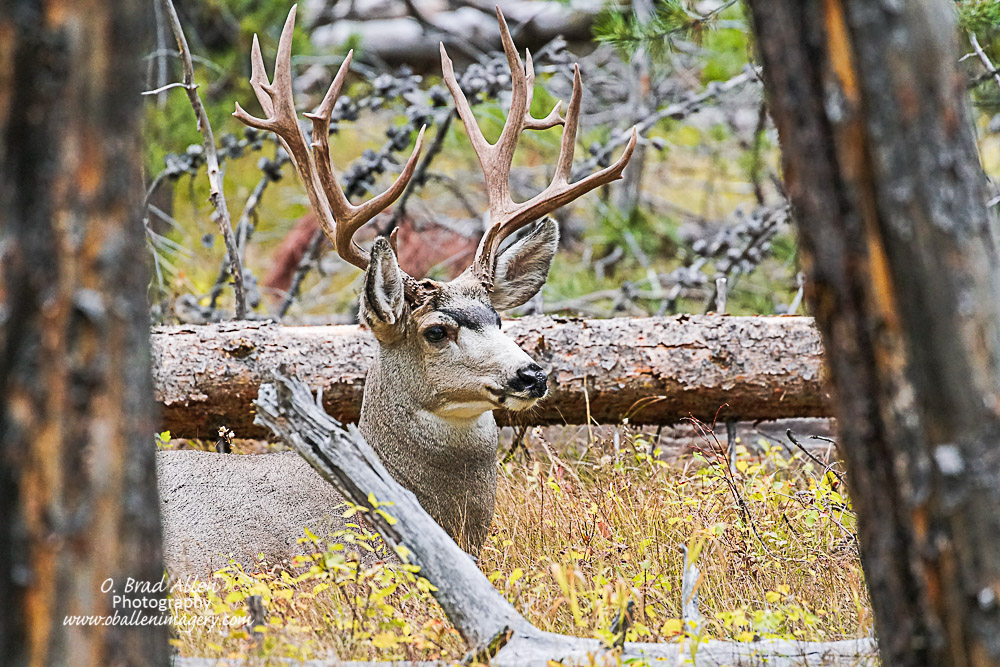 I was very surprised to see this nice mule deer. He was very calm and not nervous as he was feeding and then sat down for a rest.
