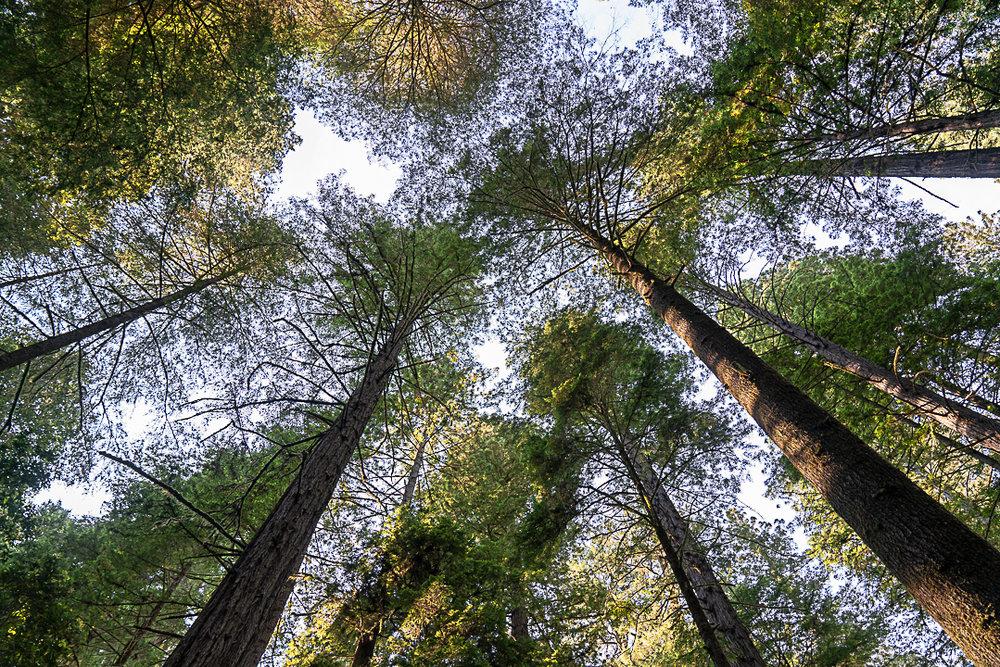 Redwoods-21.jpg