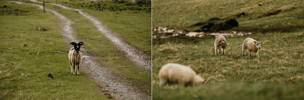 iceland engagement wedding photographer goats.jpg
