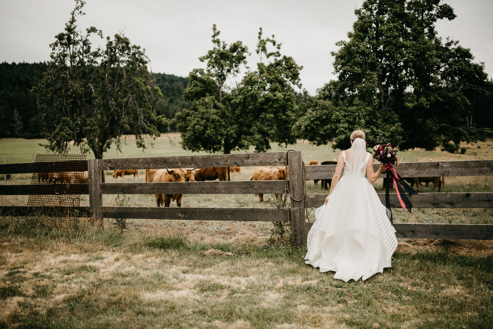 bride looks at cows at Bird's Eye Cove wedding, Vancouver Island