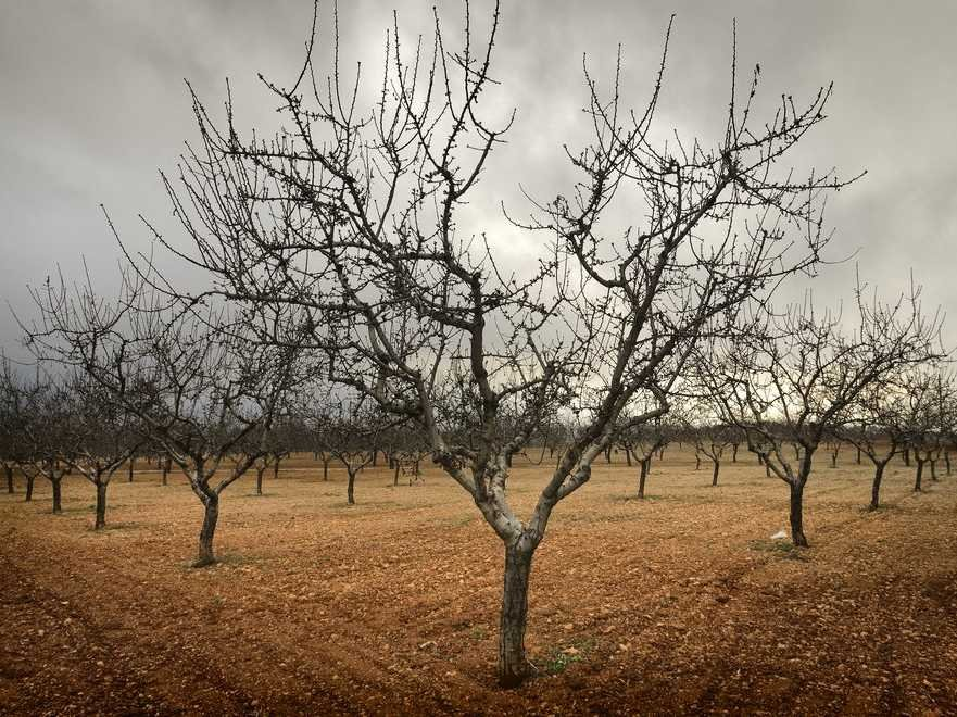 Dead Almond Trees. Source: Business Insider