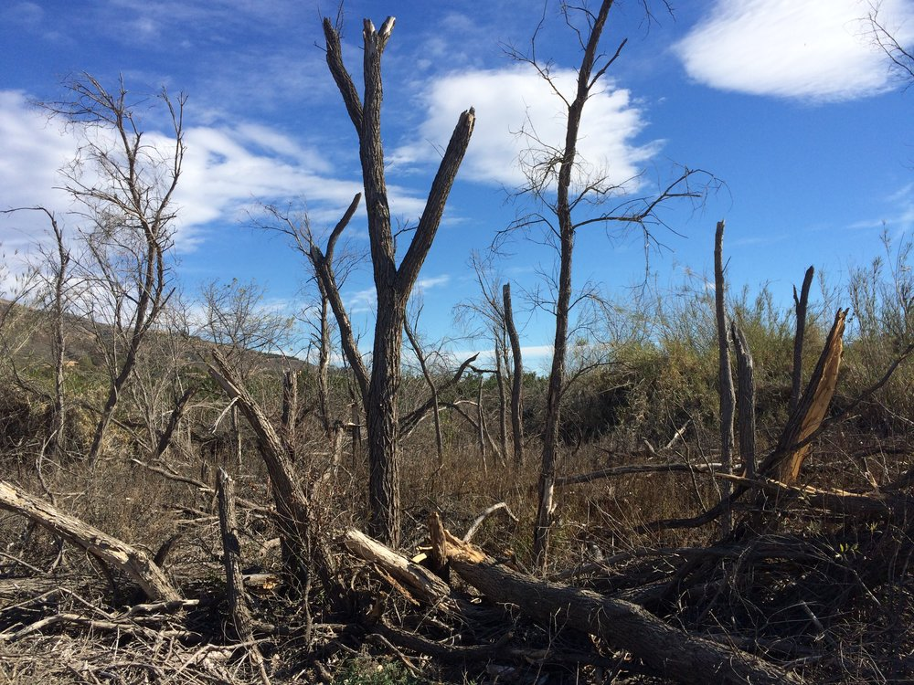 Figure 1. An on-the-ground view of 100+ acres of dead trees found in a riparian forest owned by The Nature Conservancy in the Southern California's Upper Santa Clara River. Photo Credit: Kirk Klausmeyer (The Nature Conservancy), 2016.