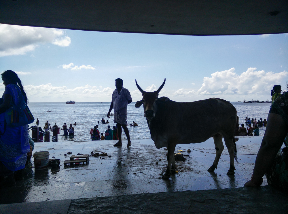 Agnitheertham - a spot for visitors to the temple to take a dip. It is also popular with cows and goats who come because there is a steady stream of greens for them to eat. One woman tried to sell me a bunch of greens to feed this cow.