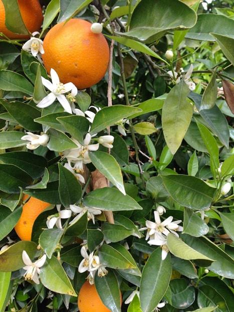 orange-tree2-min.jpg