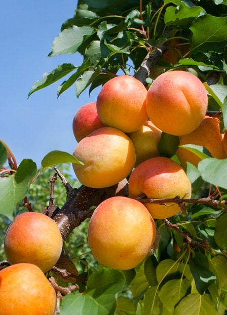 apricot-min.jpg