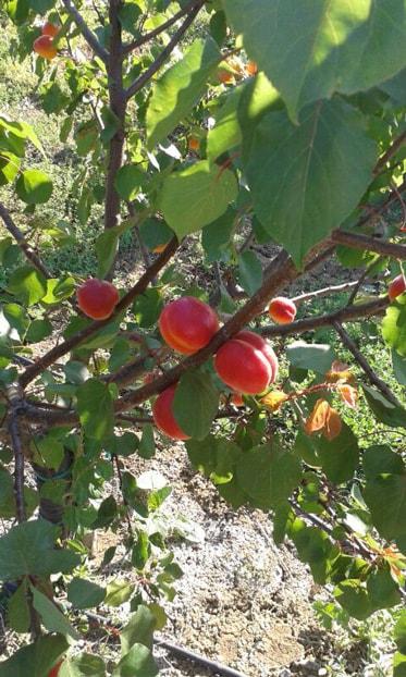 apricot2-min.jpg