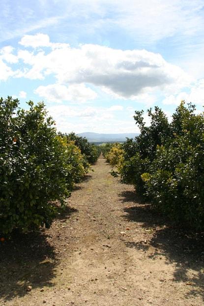 campagna-tree2-min.jpg