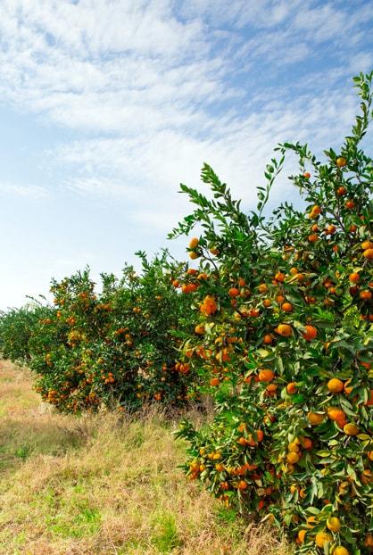 Orange-tree3-min.jpg