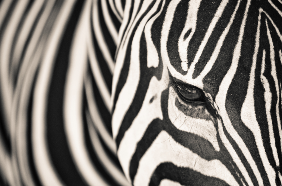 close up zebra - low res.png