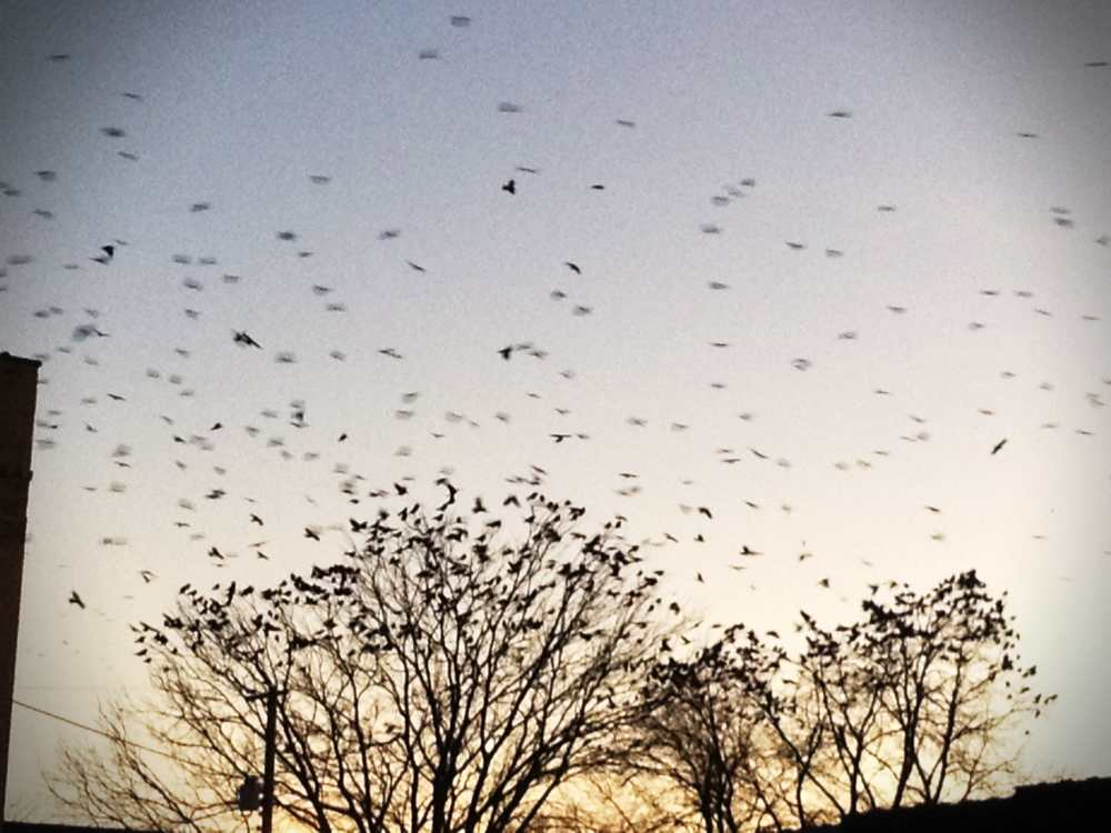 The insane amount of crows outside the shop