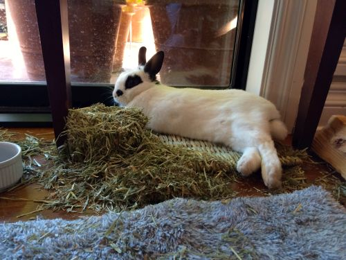 Valentino is full and content. He eats timothy hay daily which satisfies his instinct to chew.