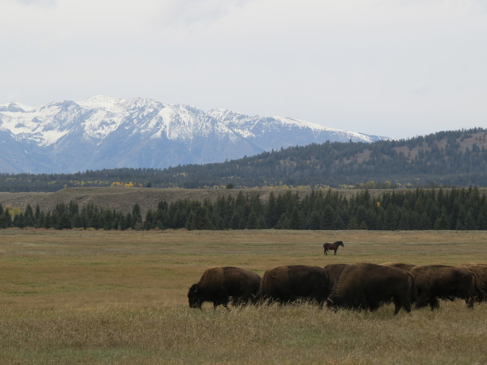 A picture from the Grand Teton range and some buffalo from our honeymoon from two falls ago. Just notice that single horse in the distance...