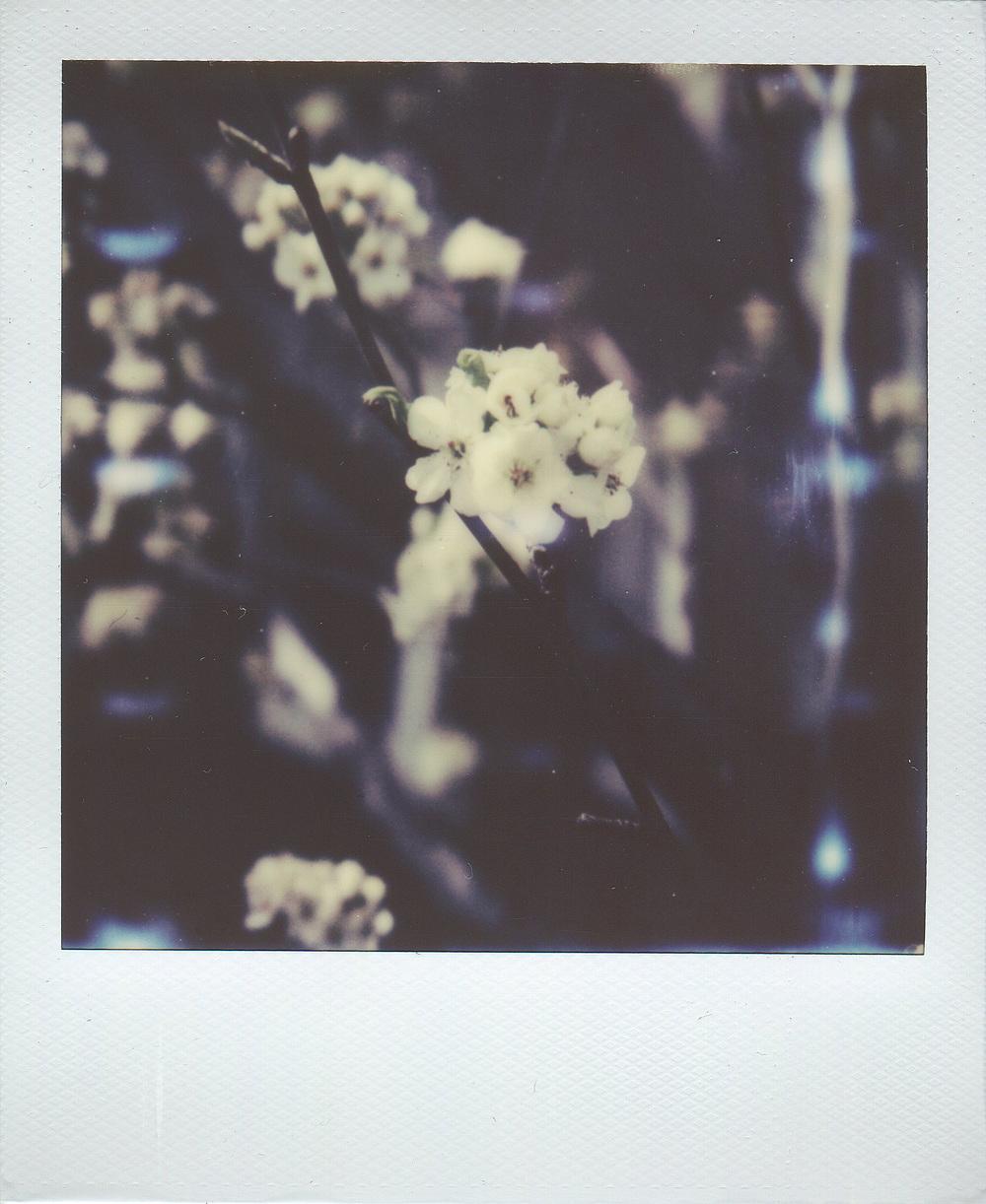 cherry-blossoms-April-2014-.jpg
