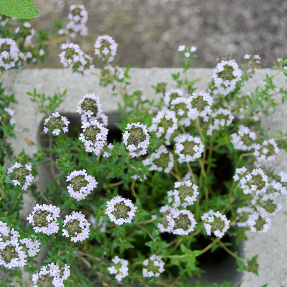 Dainty thyme flowers in the garden.