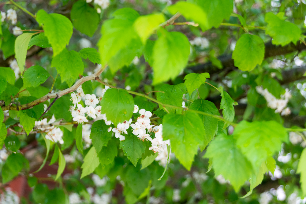 photograph of flowering bush