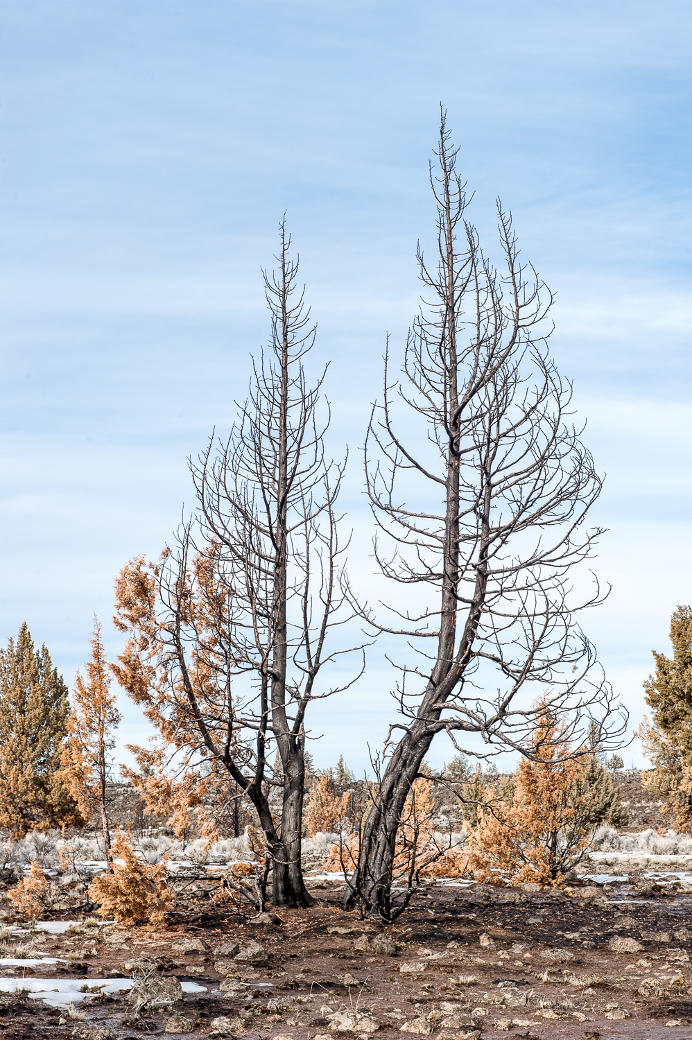 Charred Tree, Central Oregon