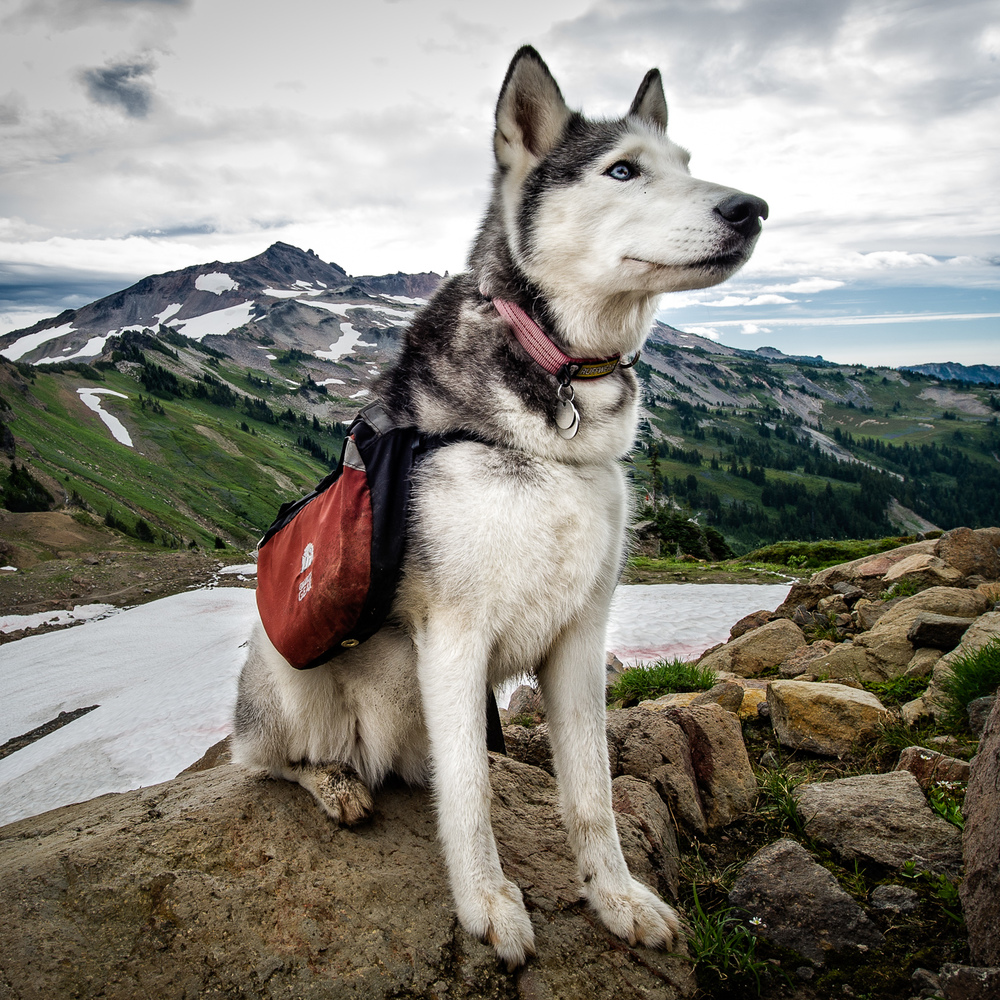 Backpacking Husky