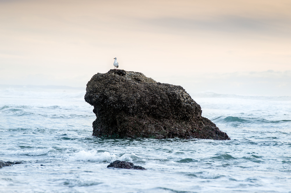 Seagull on rock, Oregon Coast
