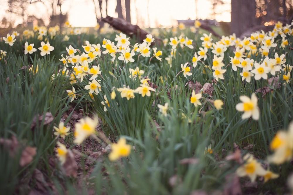 Daffodil Love-0070