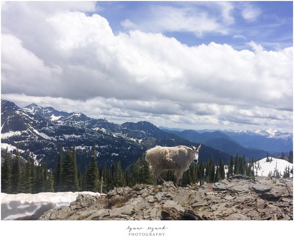 Mountain goat at the top of Mount Brown Lookout