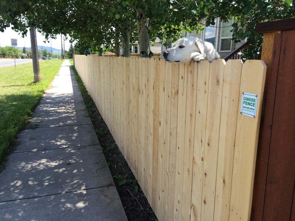 """This cedar privacy fence remains one of our most popular options. A happy """"customer"""" can be seen here peeking over this 5 foot height."""