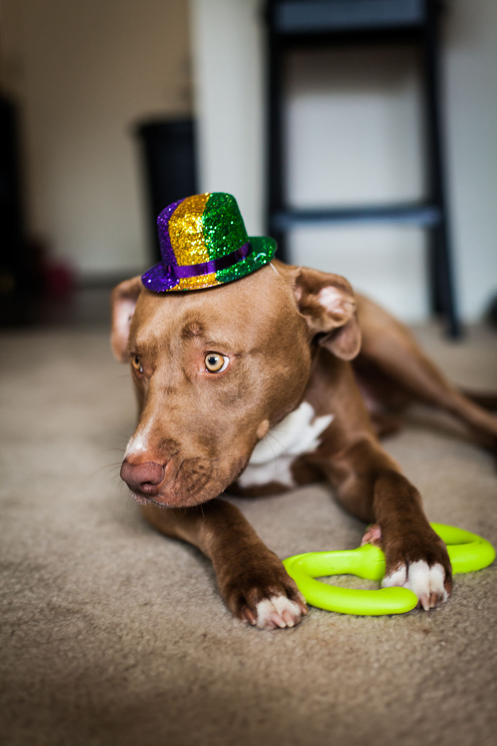 Mardi Gras Puppy | Freckled Italian