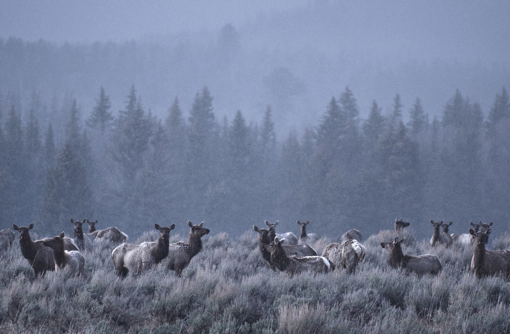Elk in the snow Grand Teton National Park Wyoming