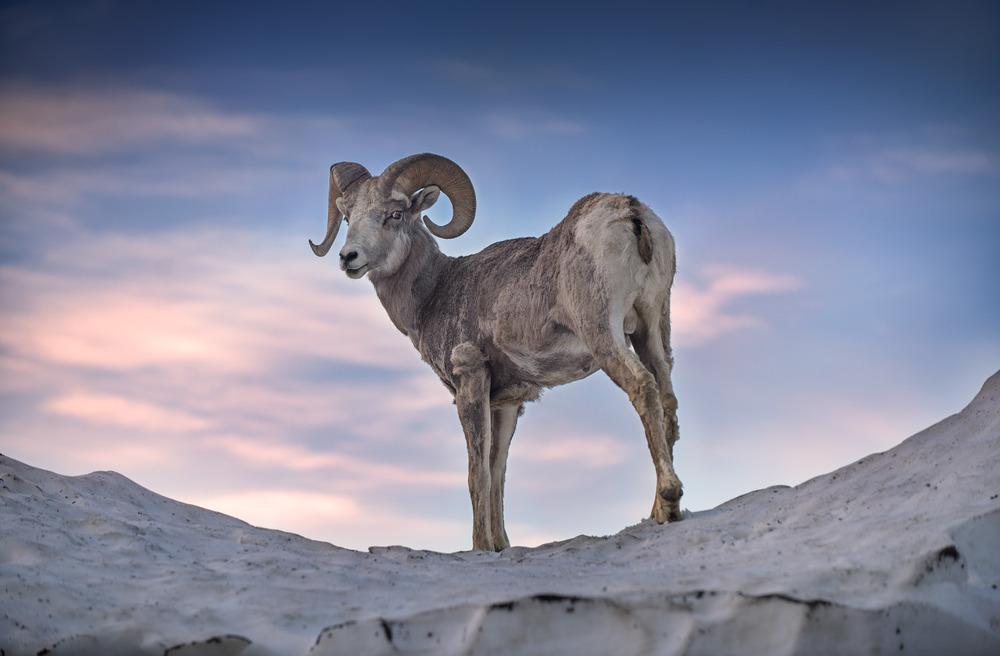 Big horn sheep Glacier National Park Montana