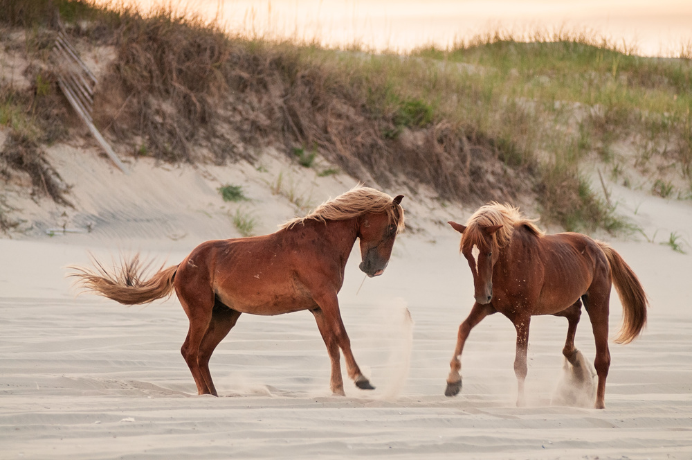 Wild horses on Corolla Outer Banks, NC