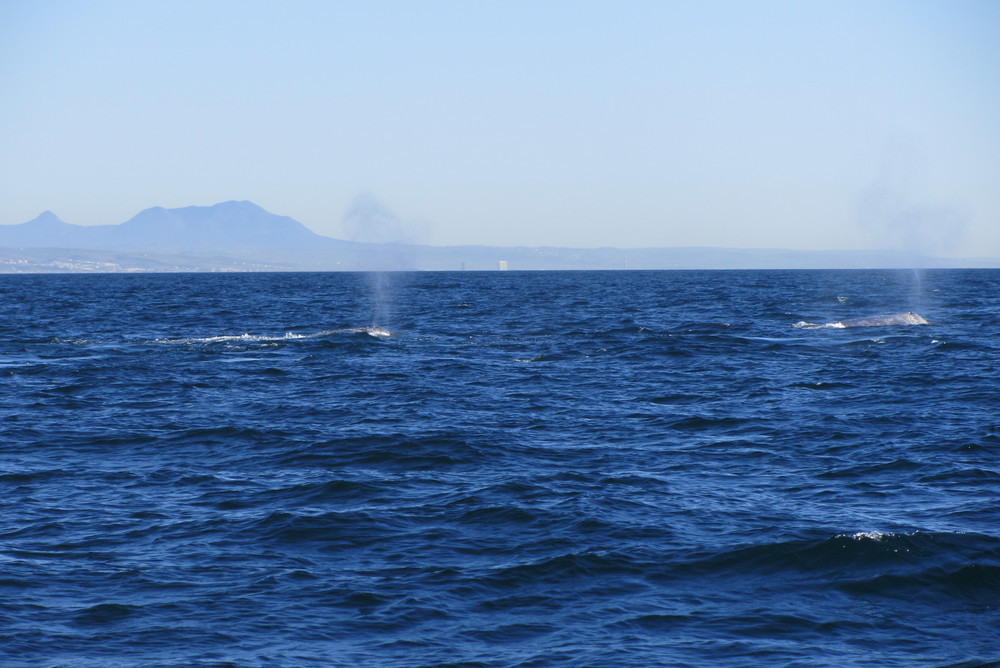 Sailing San Diego Whale Watching