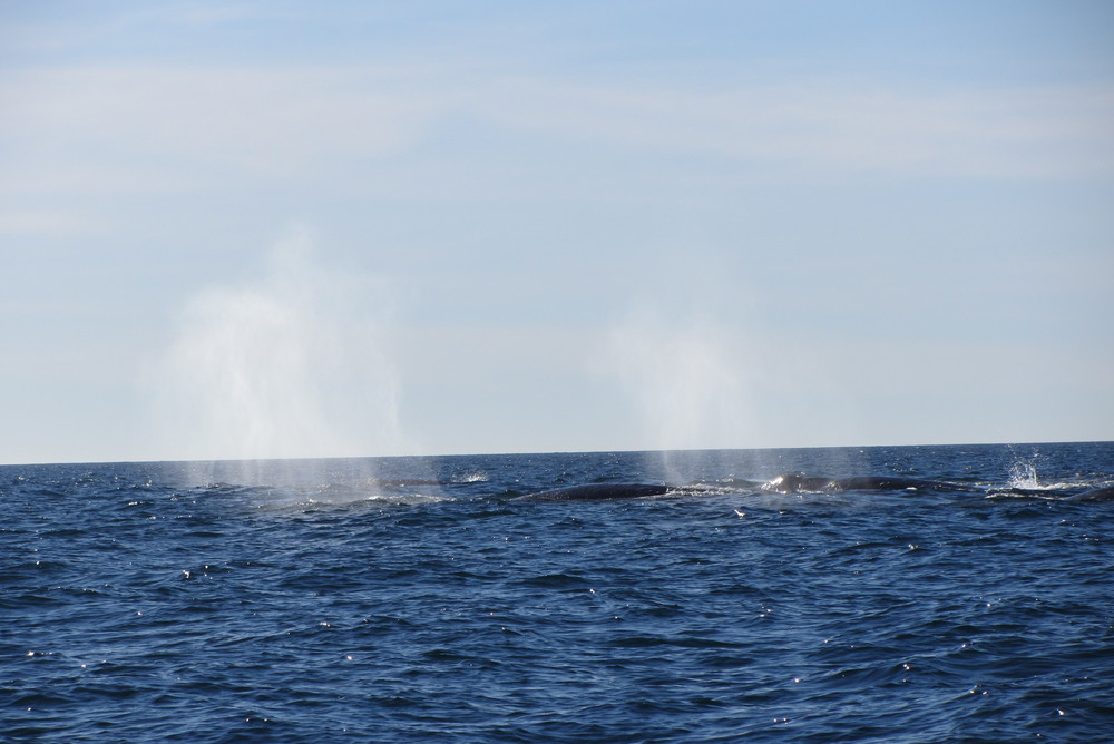 San Diego Gray Whale Watching