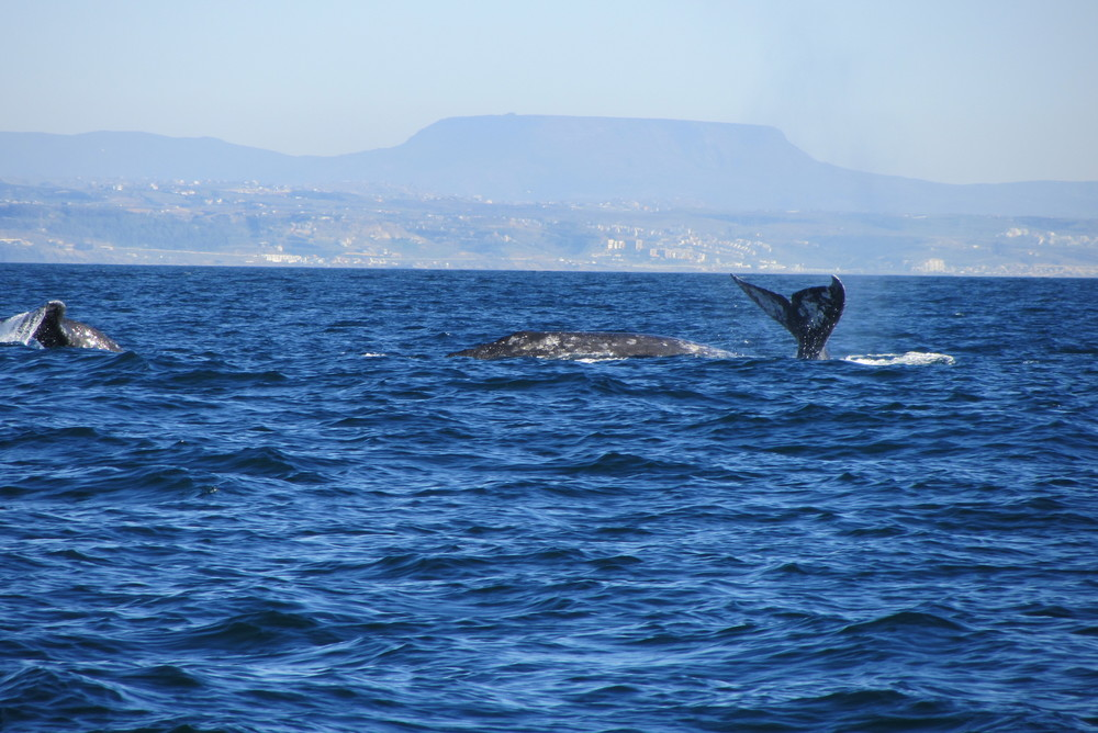 Gray Whale Watching San Diego