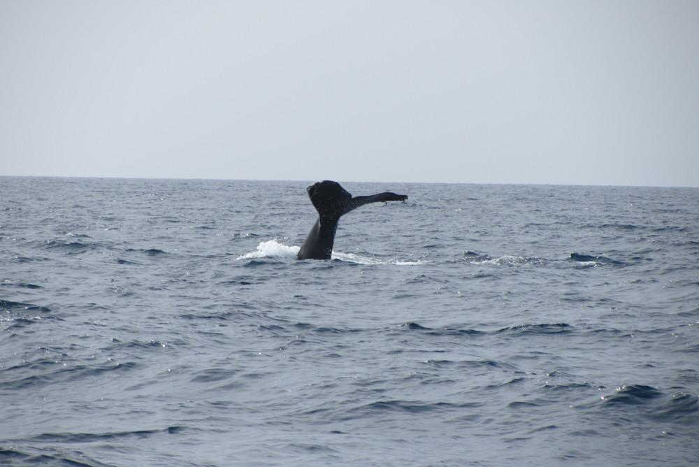 Humpback Fluke San Diego