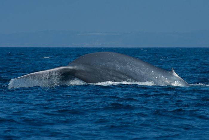 San Diego Blue Whales