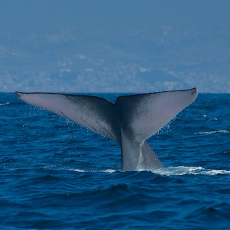 Blue Whale Showing Fluke Before A Deep Dive (Photo Courtesy of John J. King)