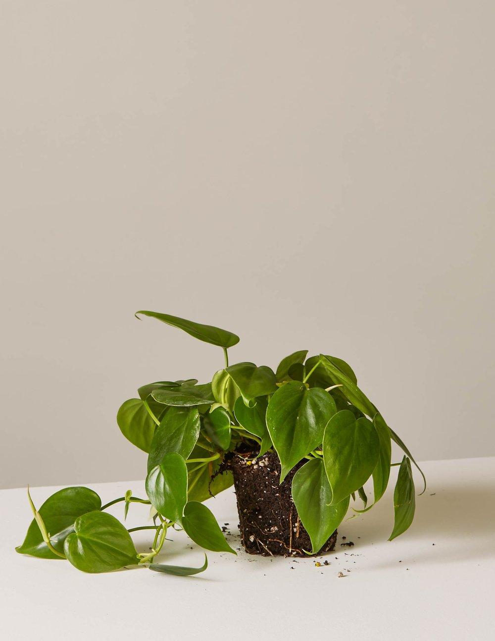 Philodendron scandens - GRASVELD Tuin- en Landschapsarchitecten
