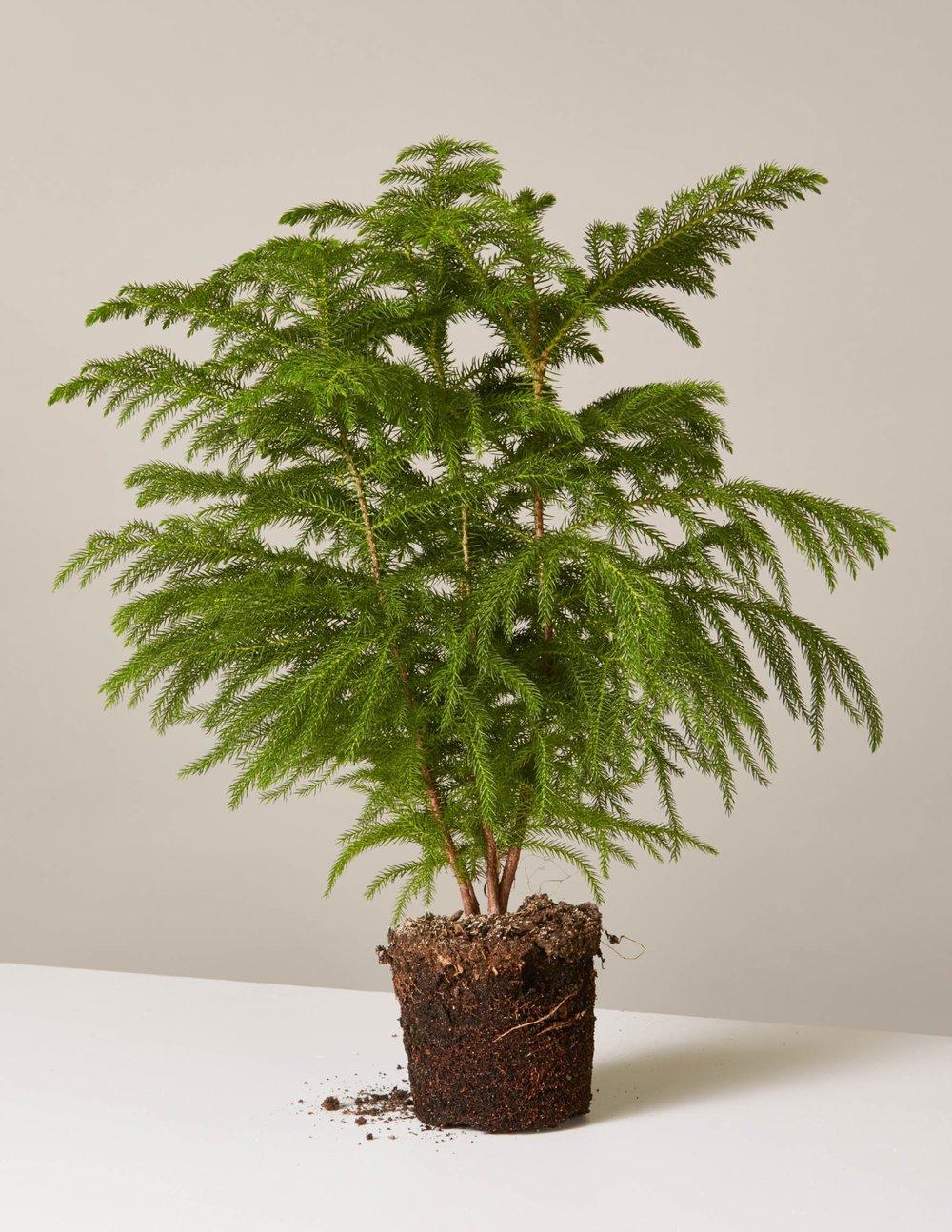Araucaria heterophylla - GRASVELD Tuin- en Landschapsarchitecten
