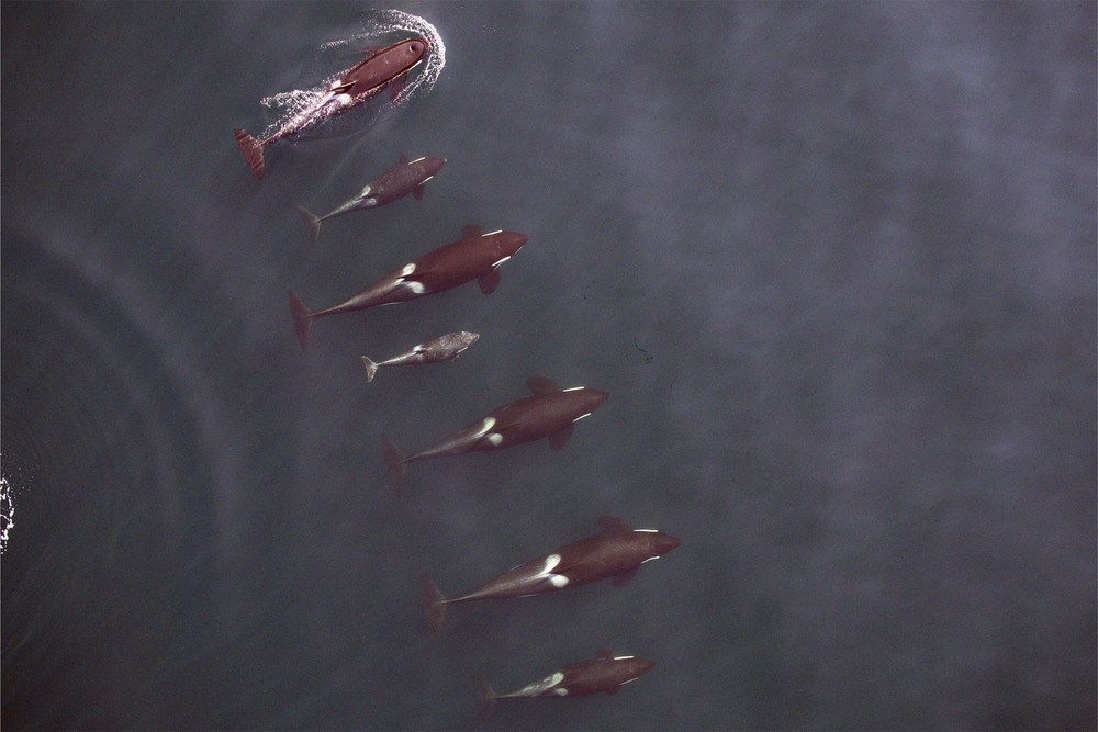 Overhead image of Northern Resident killer whales taken using a camera mounted on a hexacopter  Journal of Unmanned Vehicle Systems