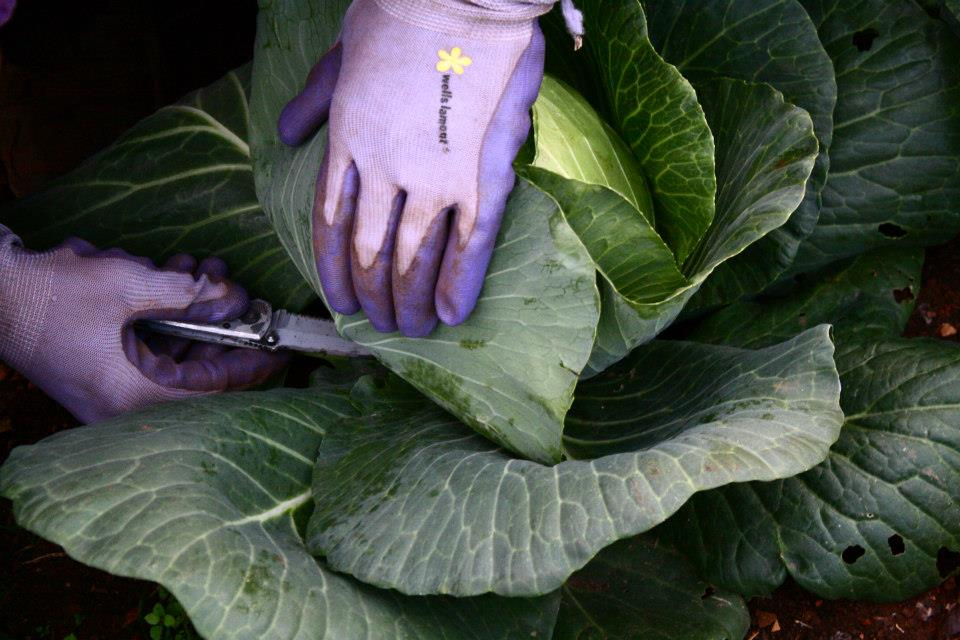 IMAGE DESCRIPTION:  A large collard greens plant. Two hands wearing purple gloves are holding back some leaves in order to cut some other with the knife that is held in one hand.