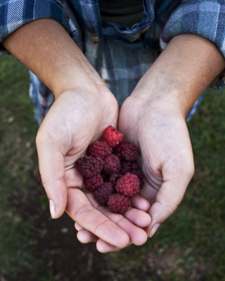 IMAGE DESCRIPTION:  Two hands cupped together holding raspberries.