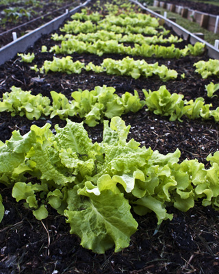 IMAGE DESCRIPTION:  A close-up of a raised bed with rows of lettuce.