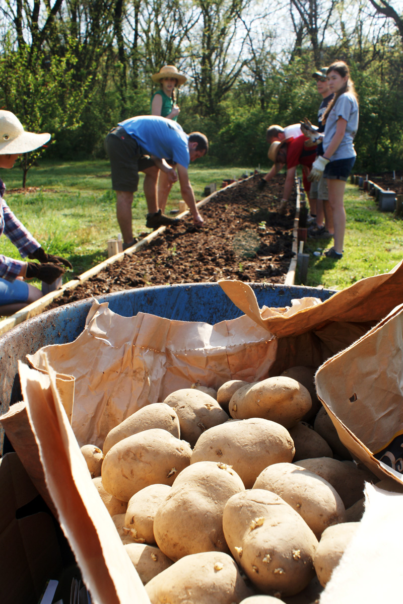 IMAGE DESCRIPTION:  Looking through a wheelbarrow filled with potatoes at a group of people harvesting in one of Beardsley Farm's raised beds.