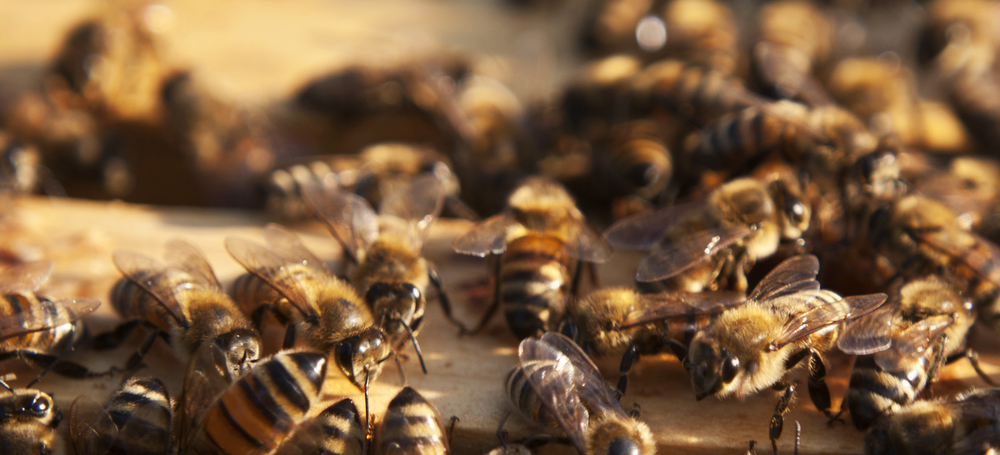 IMAGE DESCRIPTION:  A group of bees hard at work!