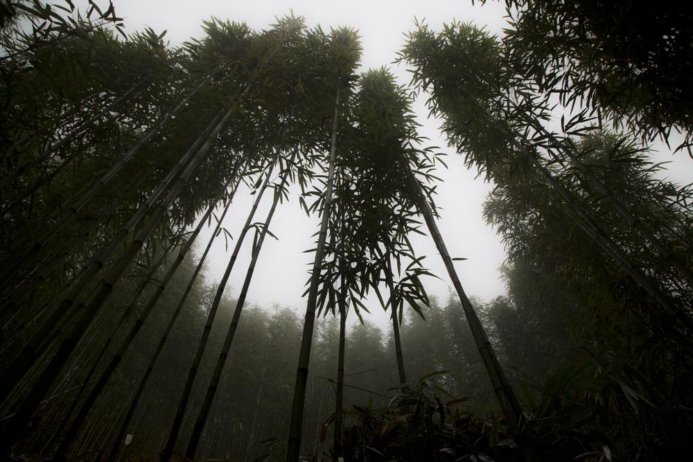 mist_bamboo.jpg