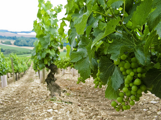 france-chablis-grapes.jpg
