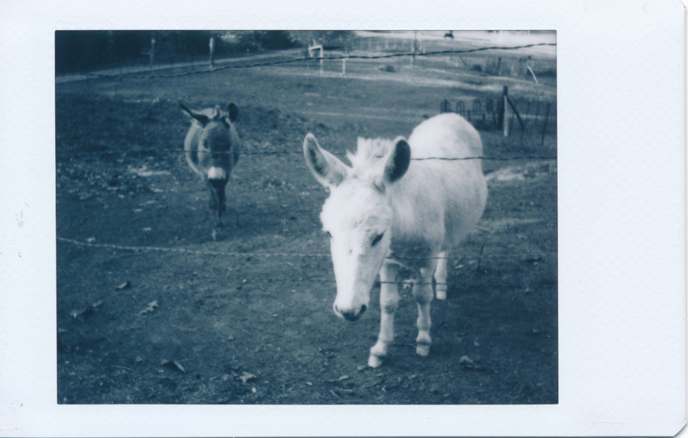 Miniature donkeys, as they appear in the original Instax Monochrome print.